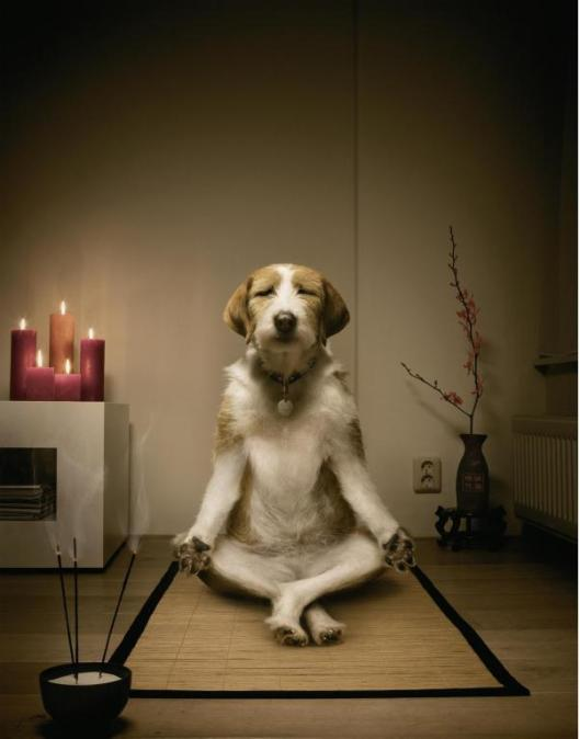 doggie meditate